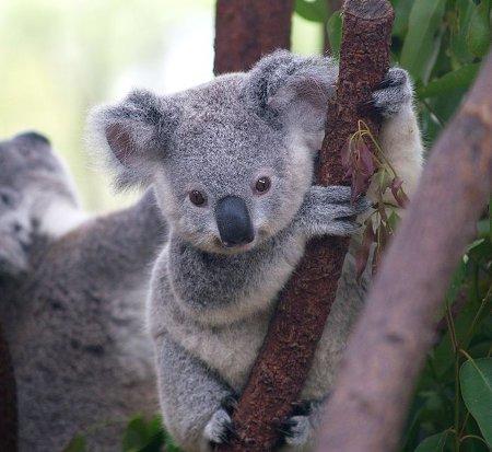 654px-cutest_koala-450